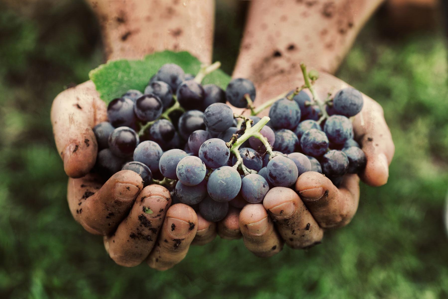 PrikenTik wijnstreken - Bio - druiven